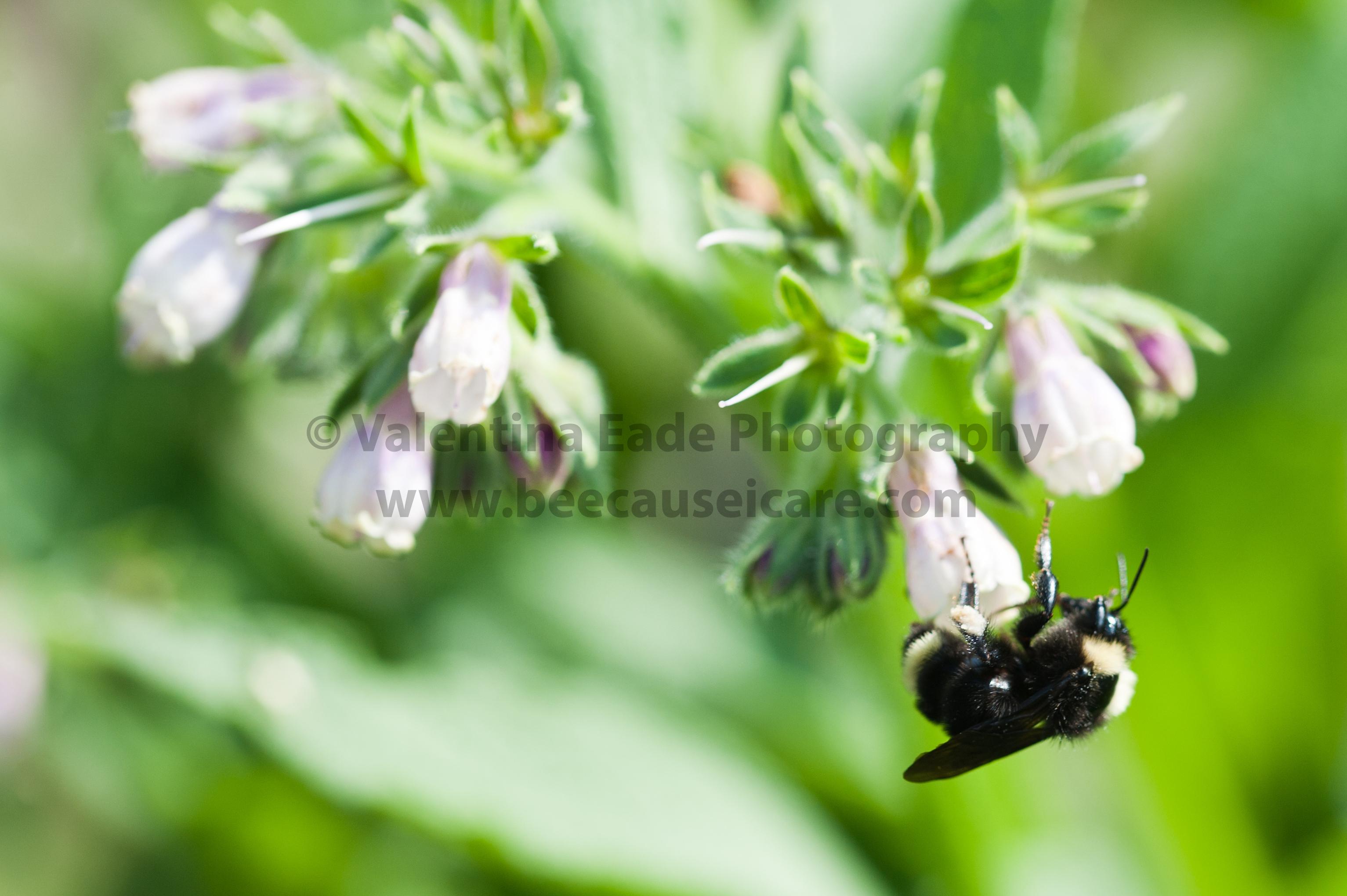 bumblebee_012