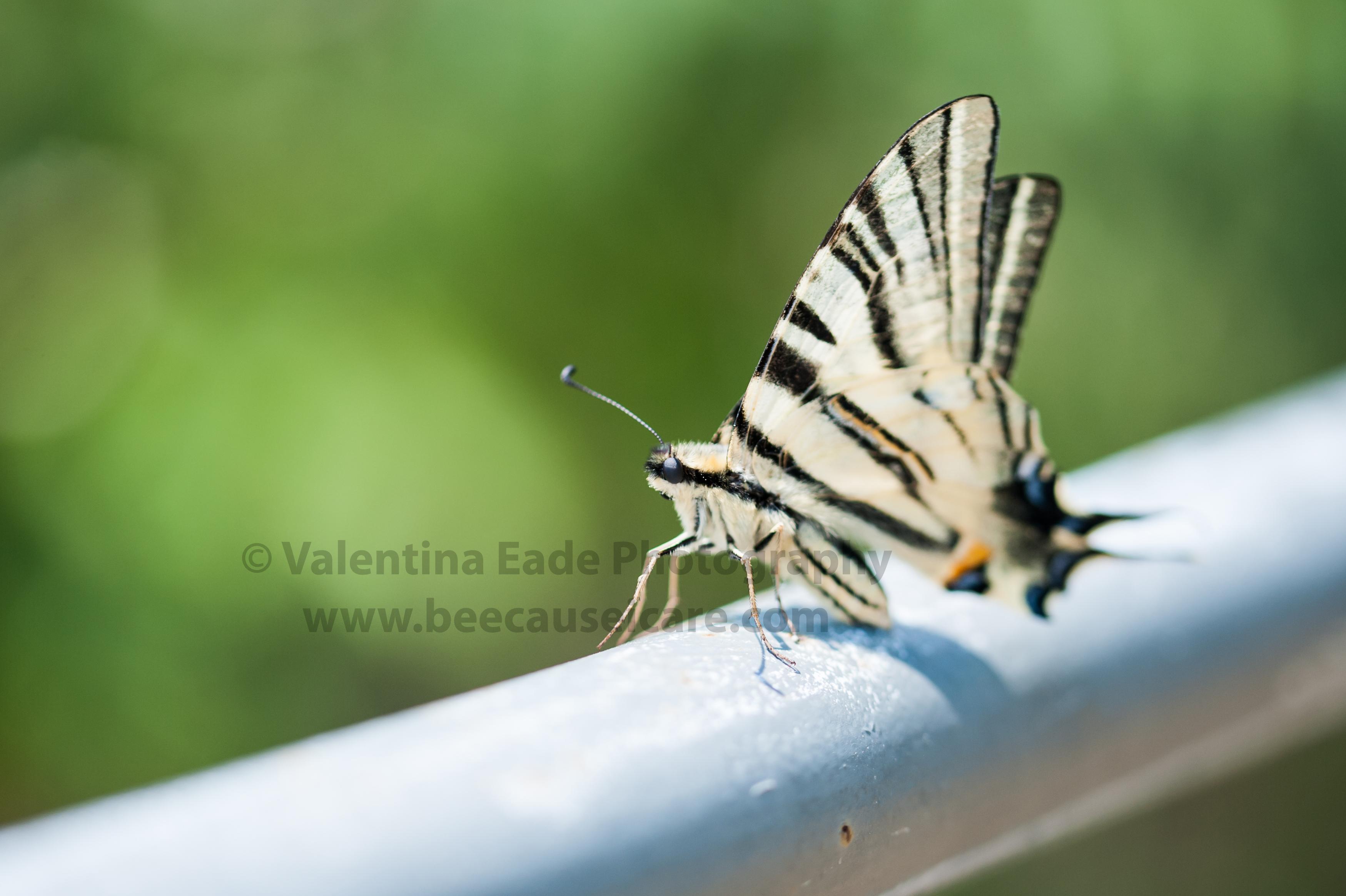 butterfly_003