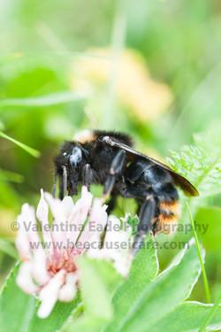 bumblebee_019
