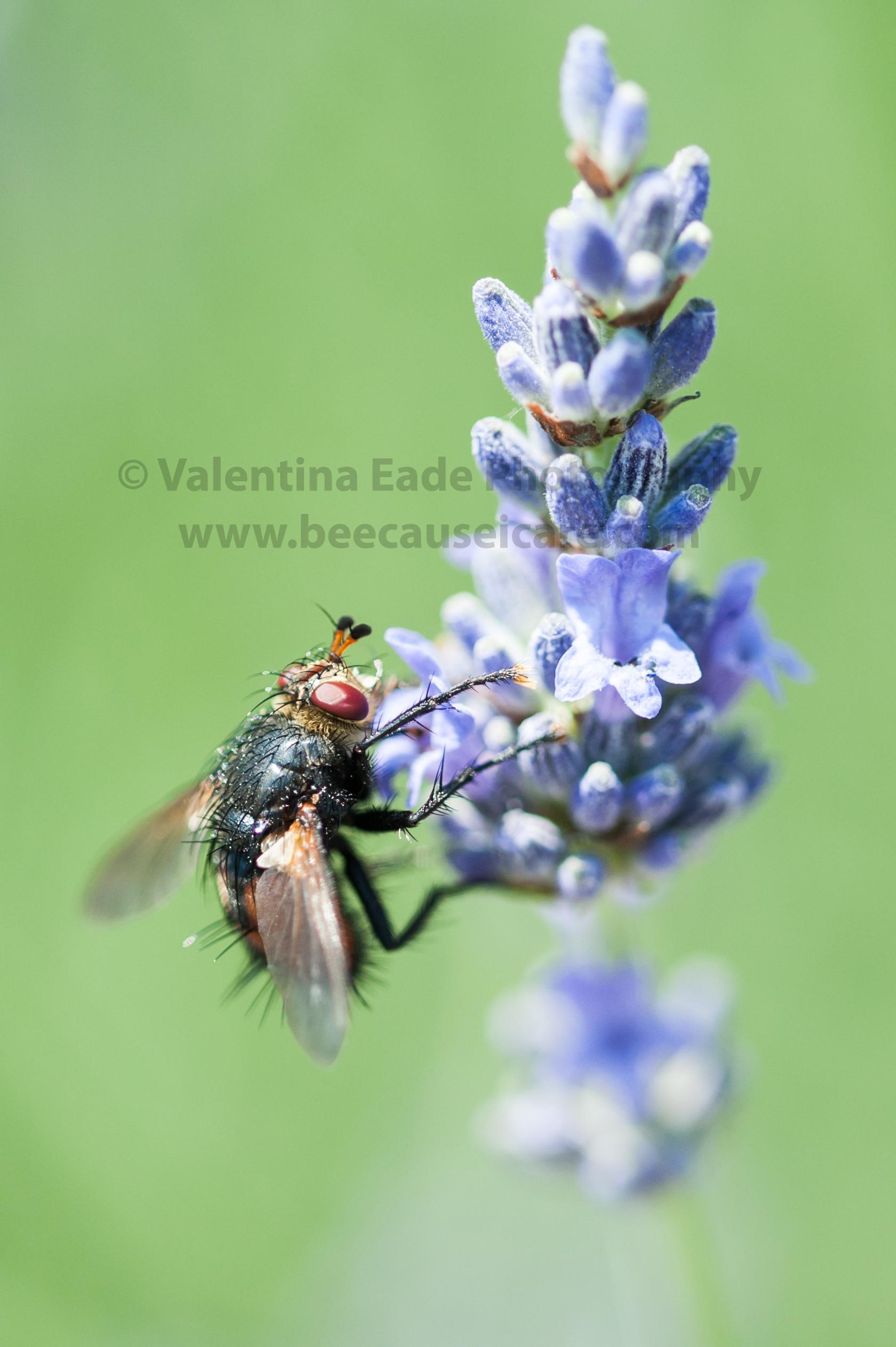 pollinatingfly_006