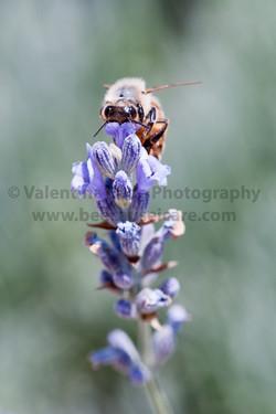 honeybee_020