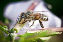 honeybee_017