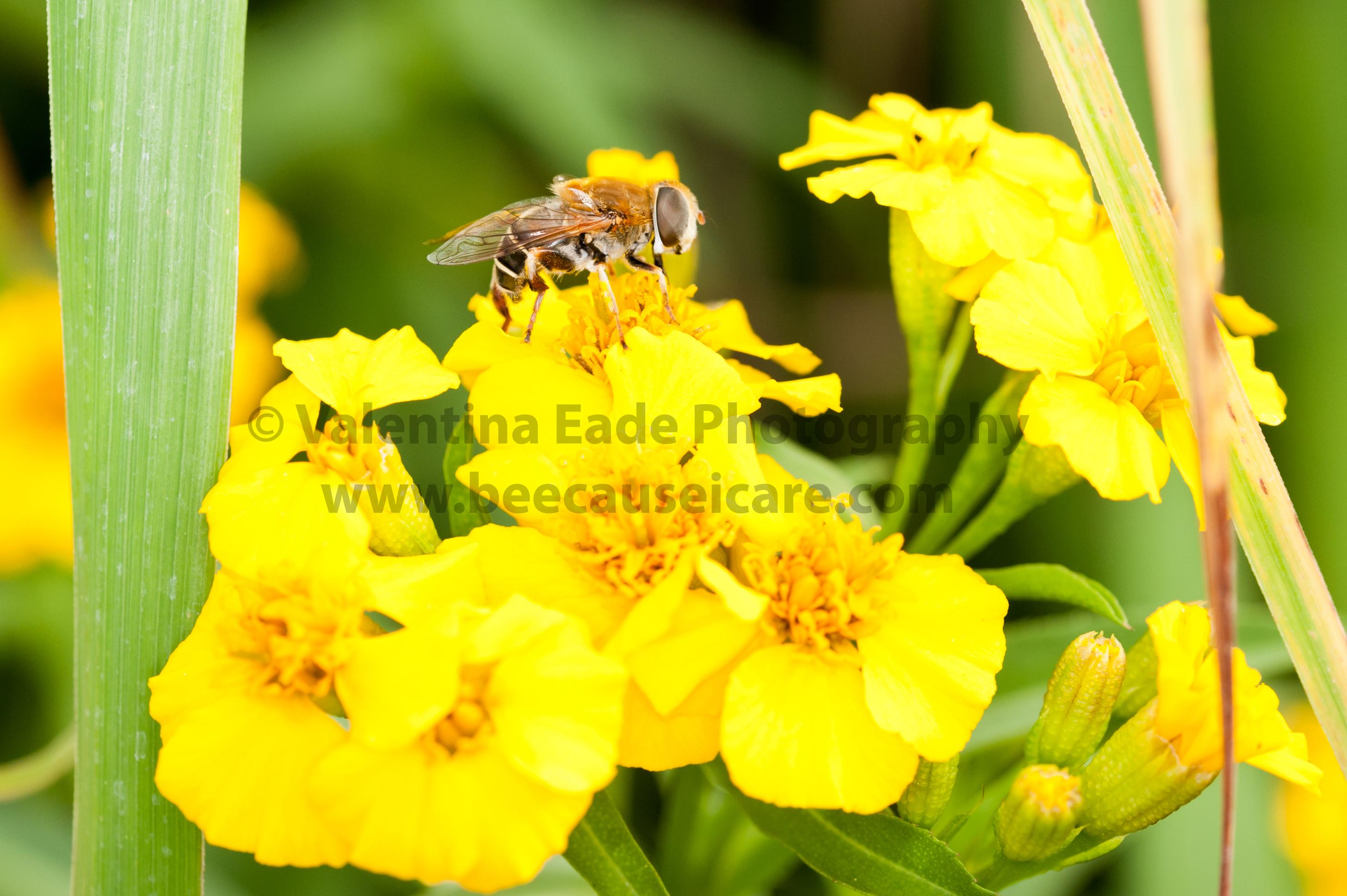 pollinatingfly_015