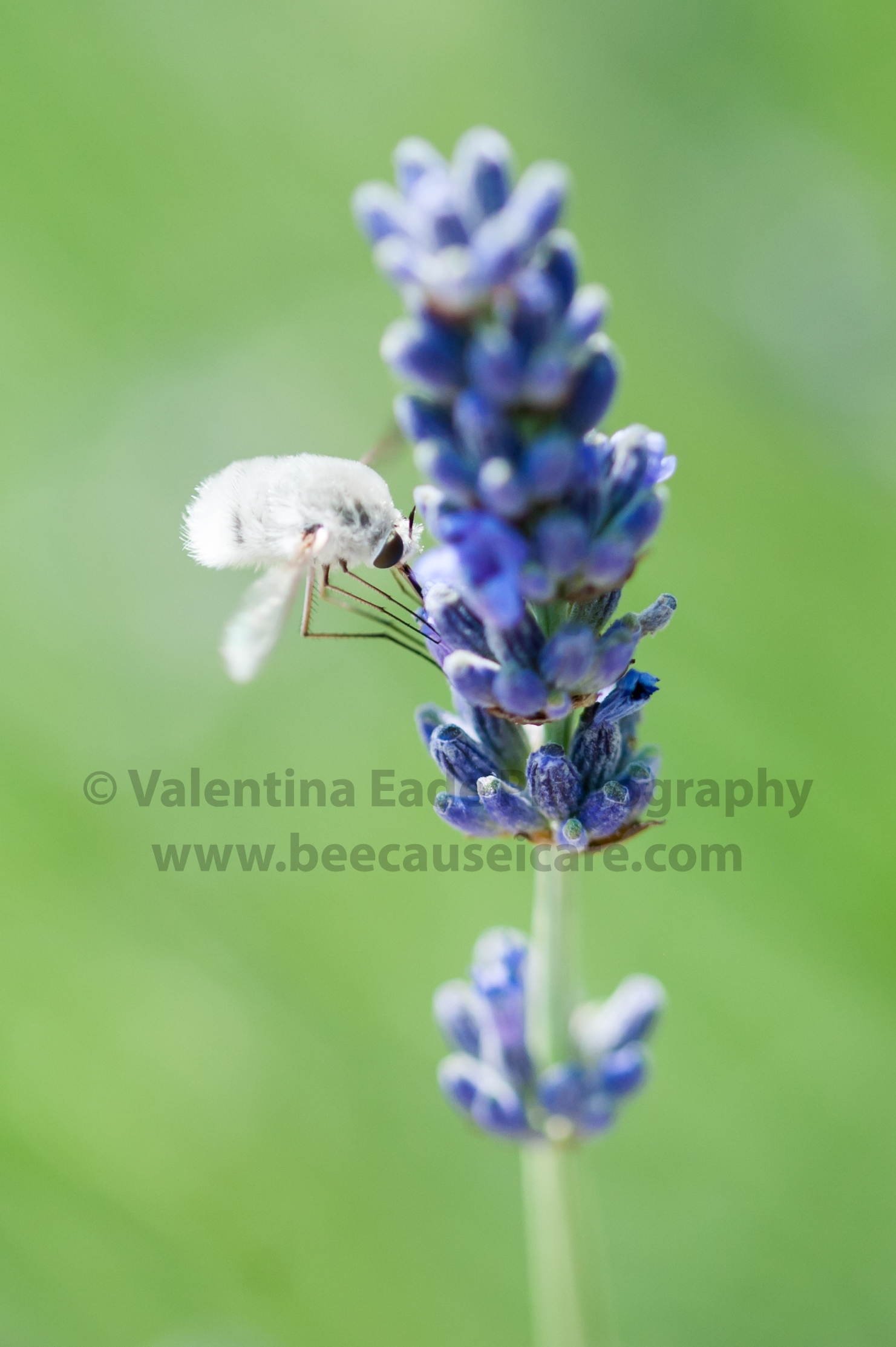 beefly_005