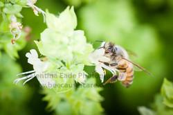 honeybee_041