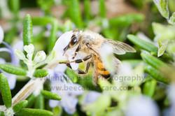 honeybee_009