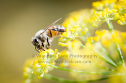 honeybee_045