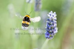 bumblebee_005