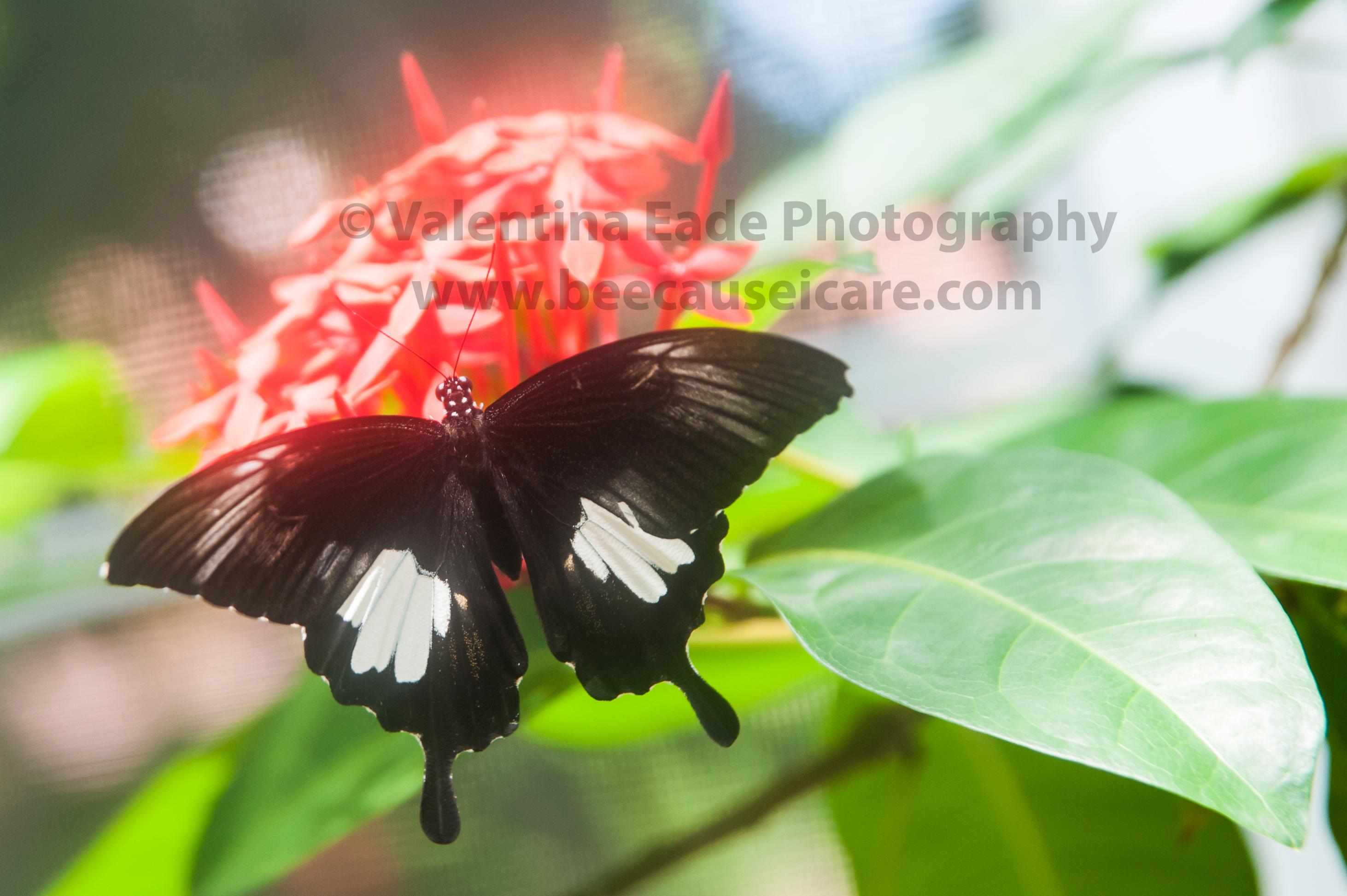 butterfly_008