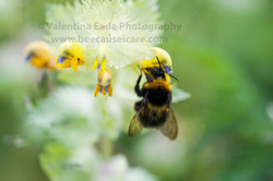 bumblebee_003
