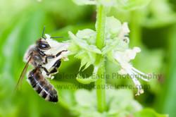 honeybee_018