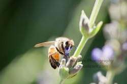 honeybee_032