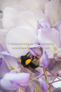 bumblebee_010
