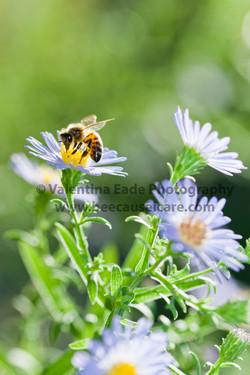 honeybee_044