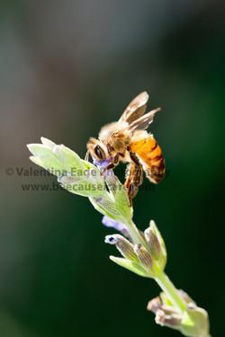 honeybee_027