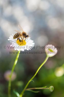 honeybee_023