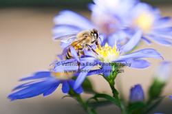 honeybee_039