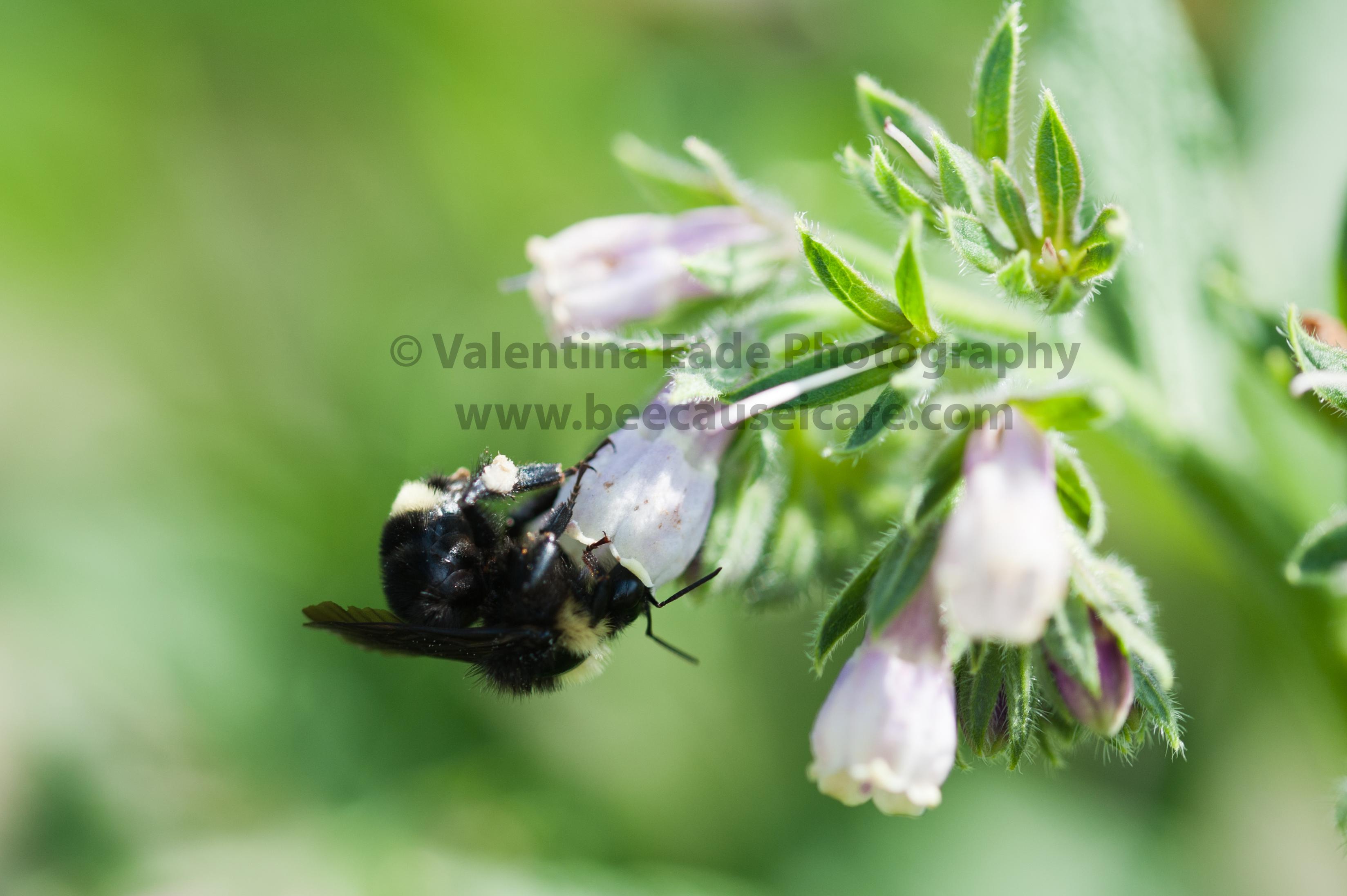bumblebee_011