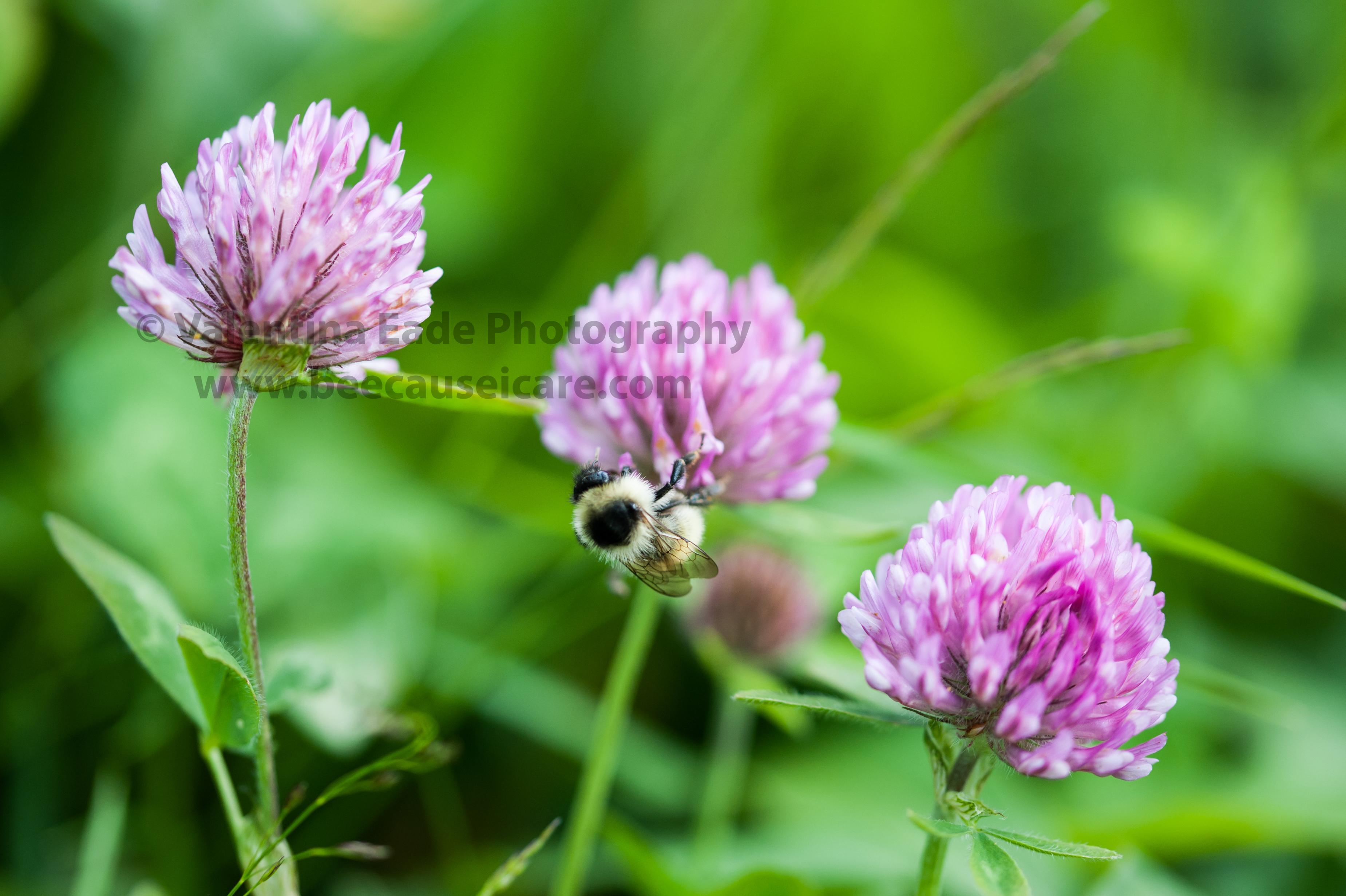 bumblebee_004