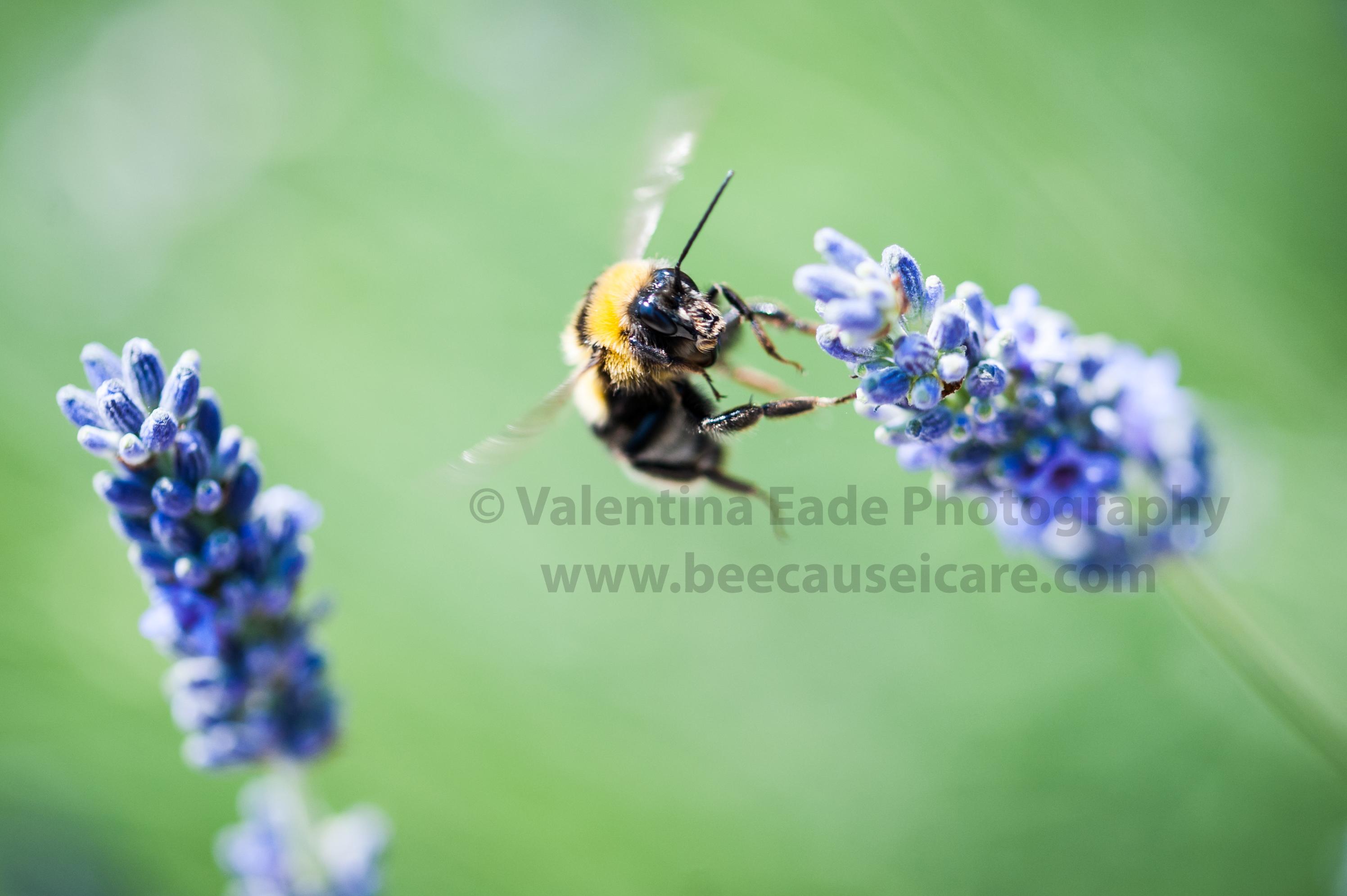 bumblebee_008