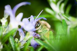 honeybee_007