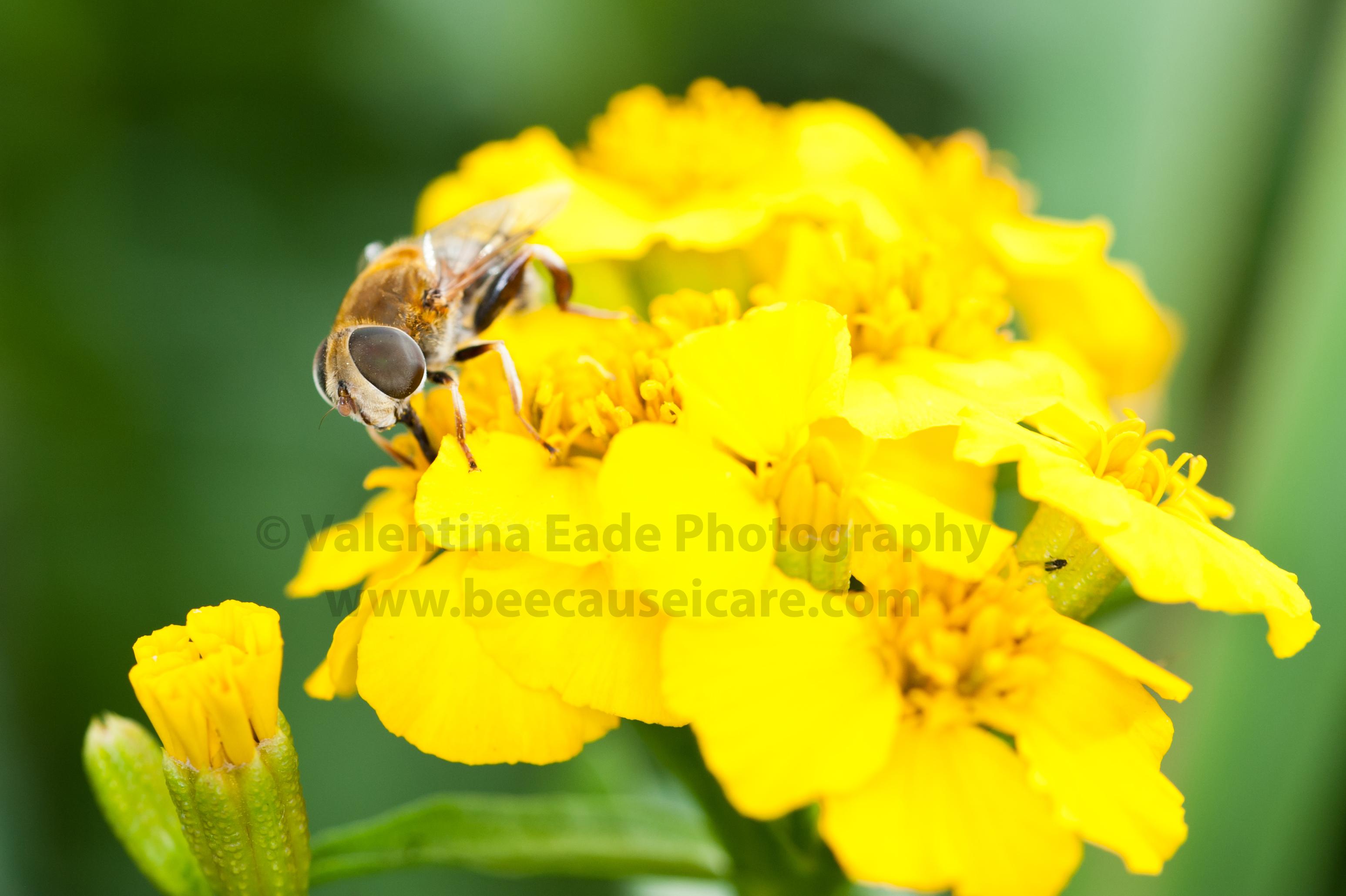 pollinatingfly_019