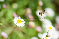 honeybee_024