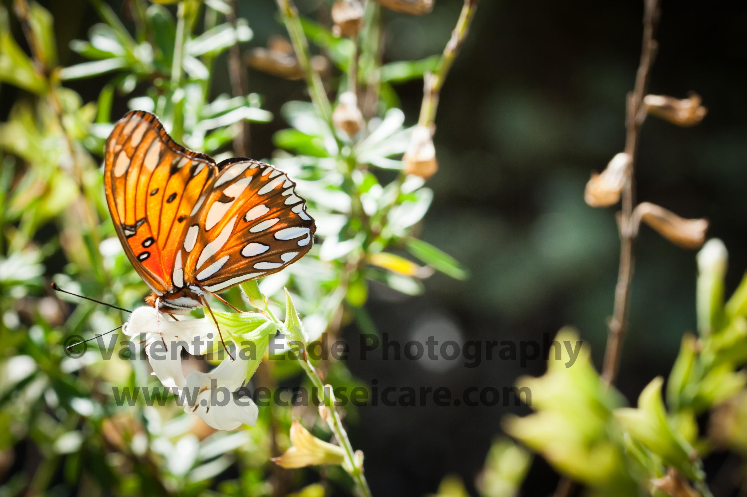 butterfly_017