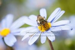 honeybee_029
