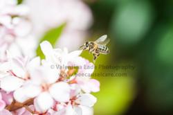 honeybee_022