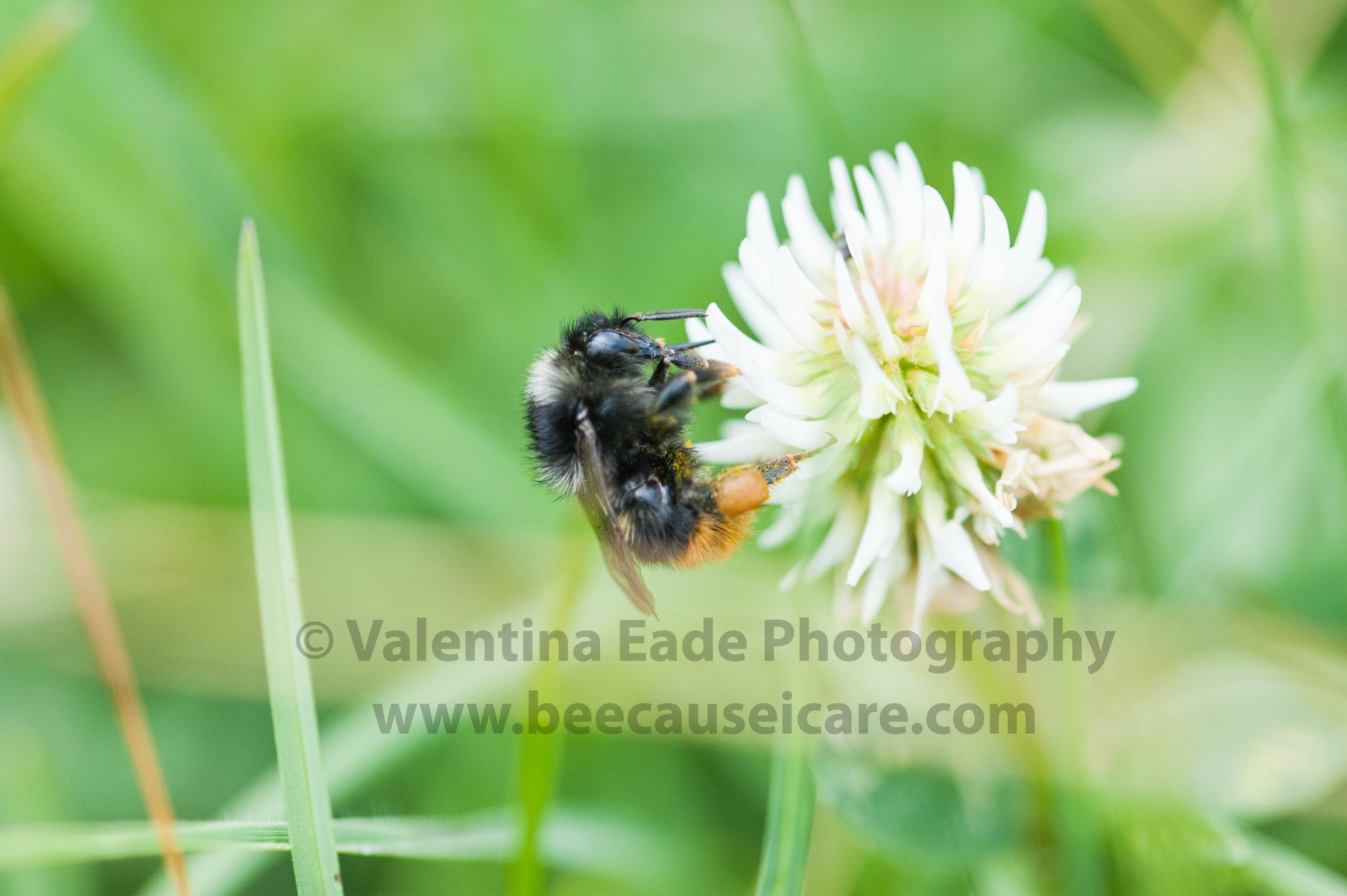 bumblebee_001
