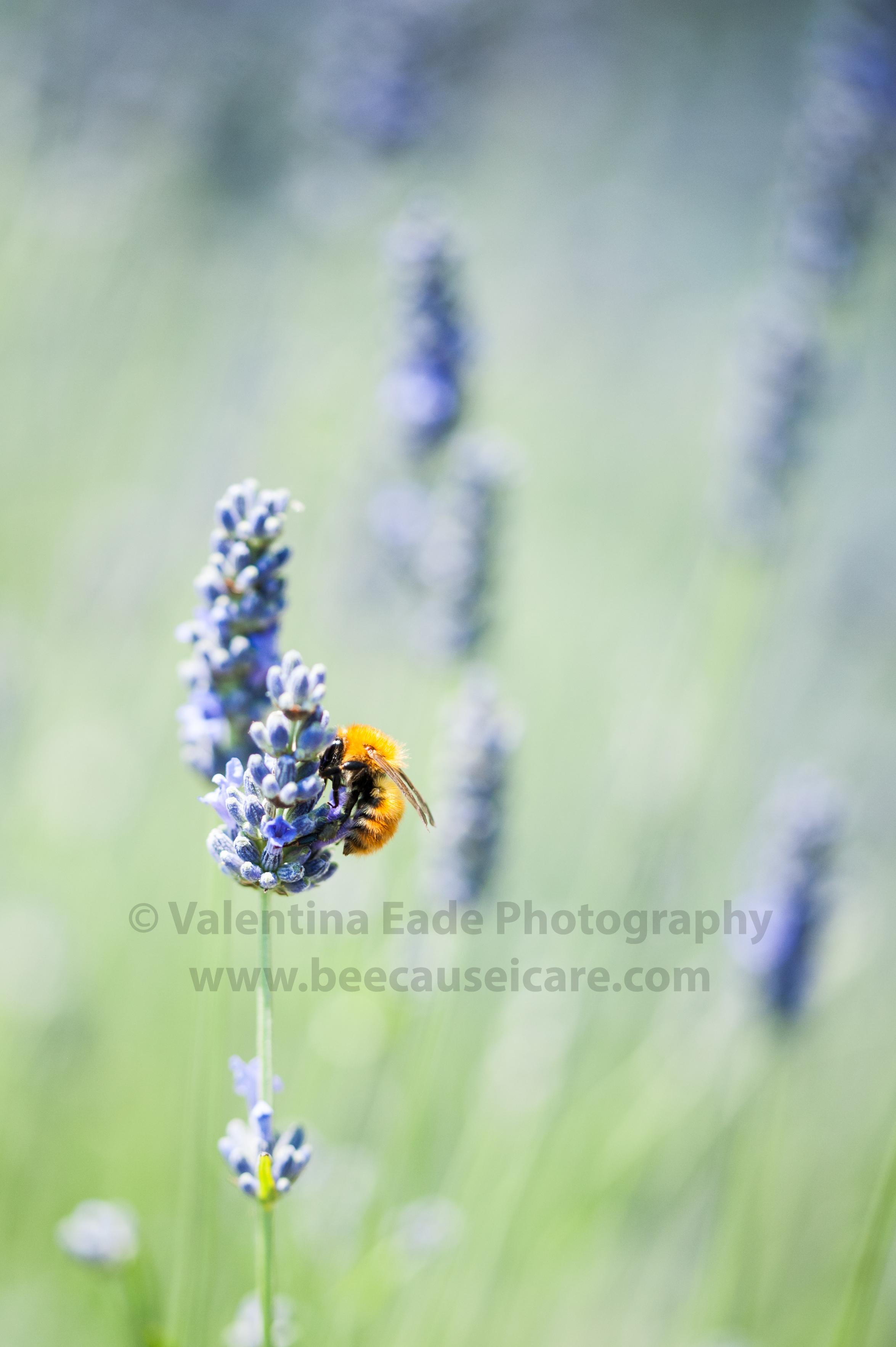 bumblebee_006