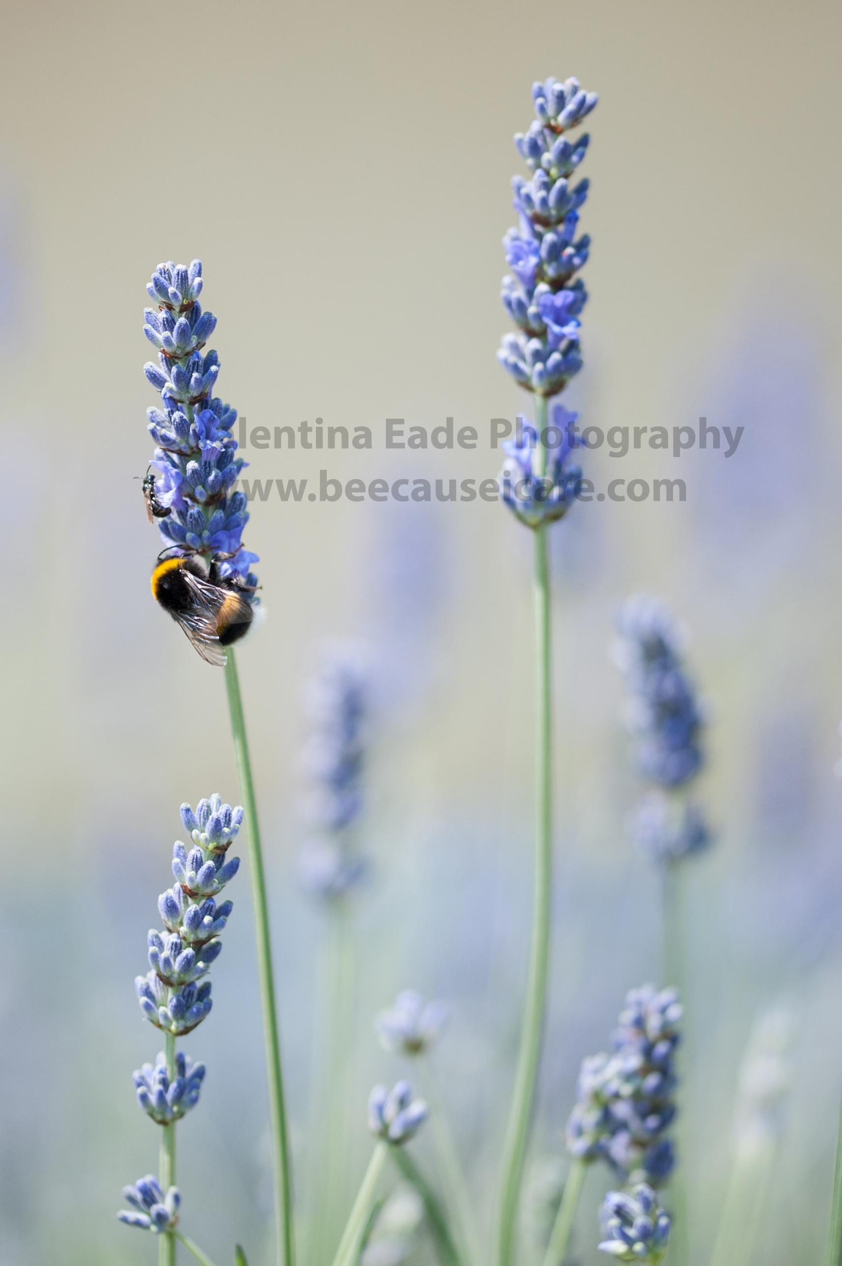 bumblebee_009