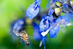 honeybee_004