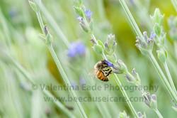 honeybee_035