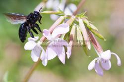 bumblebee_017