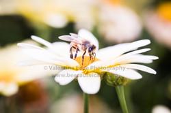 honeybee_034