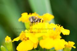 pollinatingfly_001