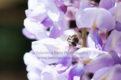 honeybee_002