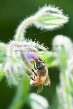 honeybee_016
