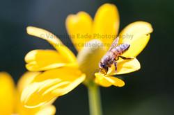 honeybee_001