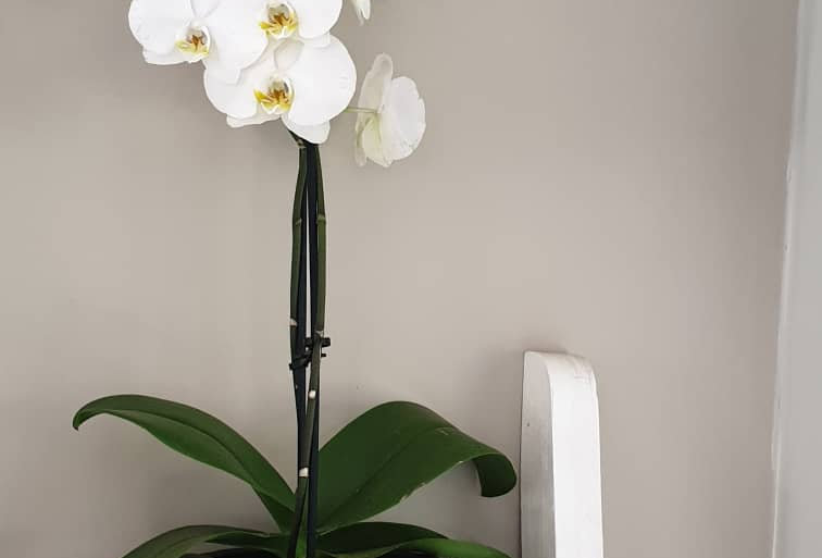 Blossomed Orchid Plant