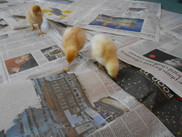 Little Chicks Visit