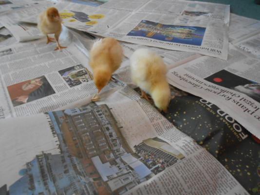 Little Chicks Visit