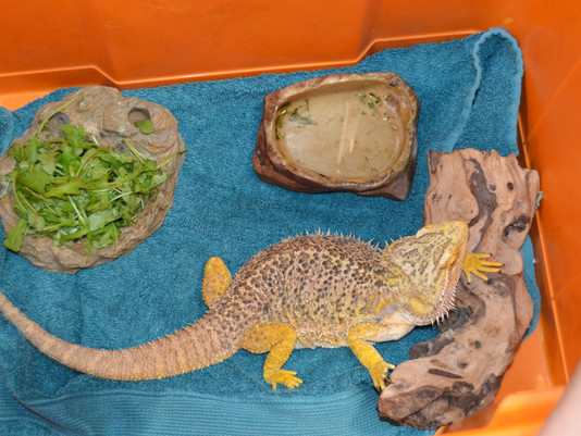 Lizzie the Lizard