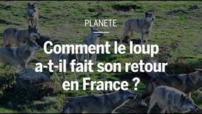 Comment le loup a fait son retour en France [vidéo]