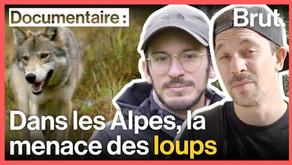 Pourquoi le retour des loups inquiète les bergers (vidéo reportage)