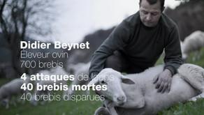 Attaques de loups, les morsures invisibles [vidéo]