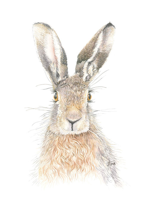 Summers's Hare