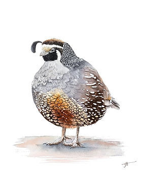 Heres a little fat quail all contented w